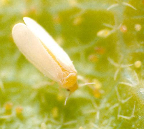 promip manejo integrado pragas controle biologico mip experience manejo integrado pragas inicio cultura tomate mosca branca 2