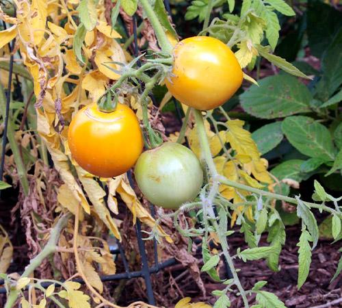 promip manejo integrado pragas controle biologico mip experience manejo integrado pragas inicio cultura tomate pulgões danos