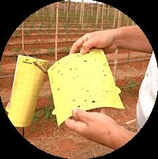 promip manejo integrado pragas controle biologico mip experience monitoramento pragas doenças tomate armadilha amarela mobile