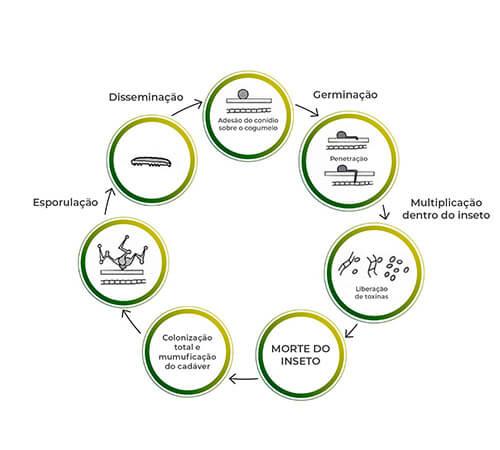 promip manejo integrado pragas controle biologico mip experience monitoramento pragas entendendo bioprodutos parte 2 fungos acao mobile