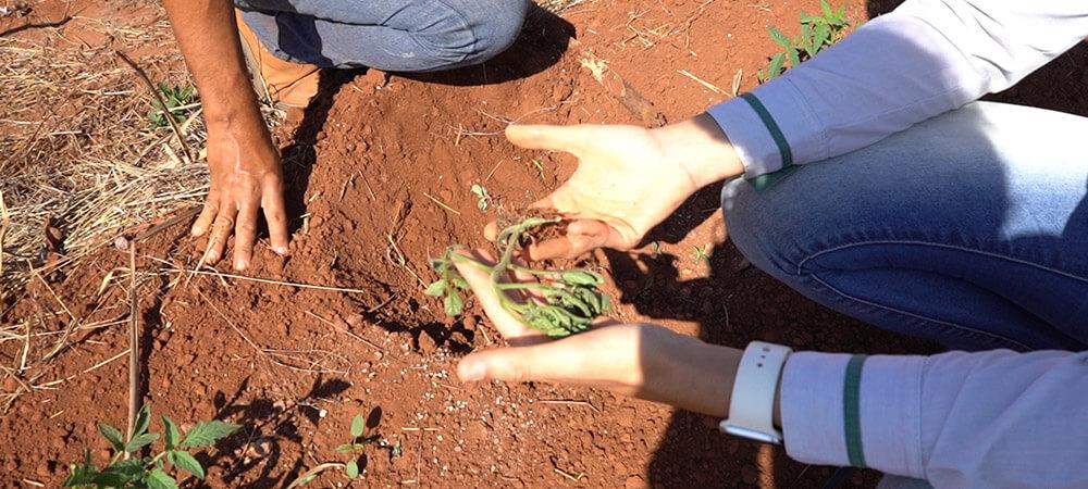 promip manejo integrado pragas controle biologico mip experience monitoramento pragas tombamento tomate planta doente