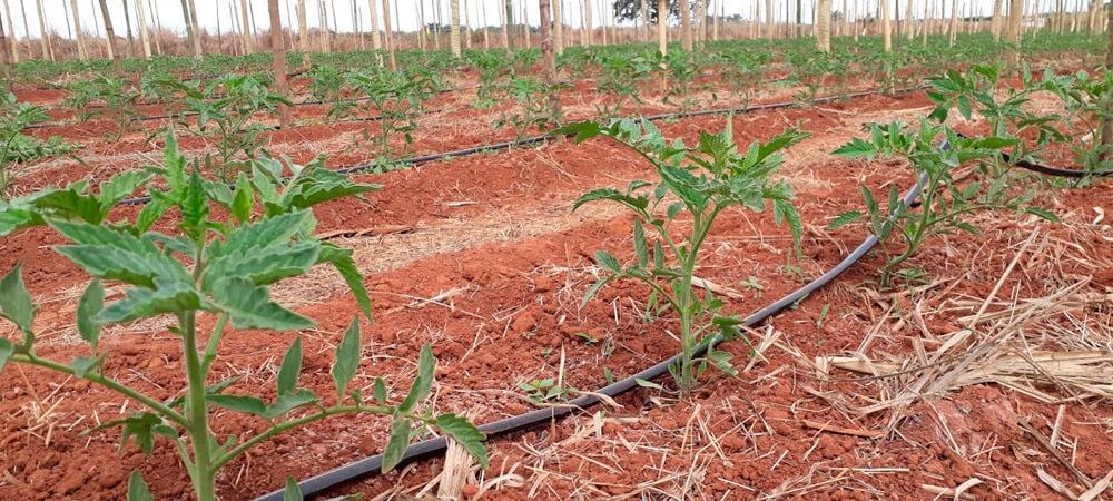 promip manejo integrado pragas controle biologico mip experience monitoramento pragas tripes tomateiro cultura tomate fase inicial