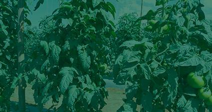promip manejo integrado pragas controle biologico mip experience monitoramento pragas tripes tomateiro header mobile