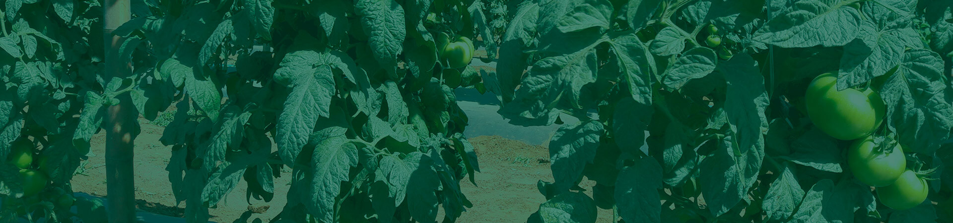 Controle biológico de tripes na cultura do tomateiro