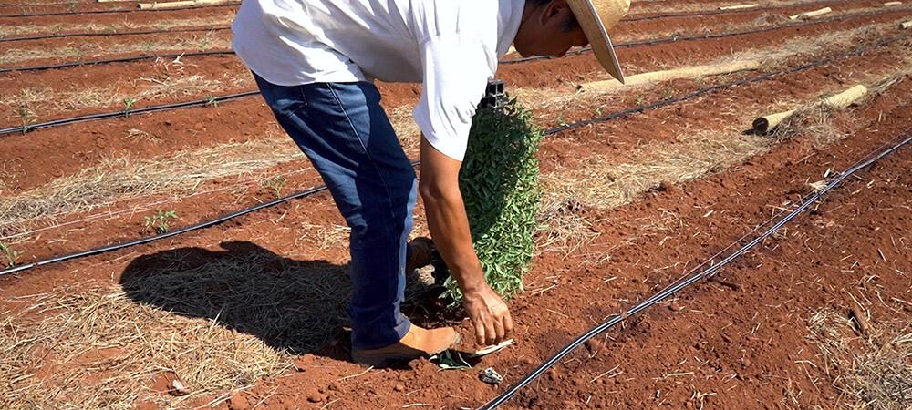 promip manejo integrado pragas controle biologico mip experience monitoramento pragas tripes tomateiro plantando tomate